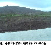 雄山中腹で試験的に栽培されている作物