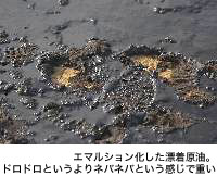 エマルション化した漂着原油。ドロドロというよりネバネバという感じで重い