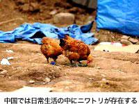 中国では日常生活の中にニワトリが存在する